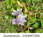 eichhornia  water hyacinth.... | Shutterstock . vector #1554897350