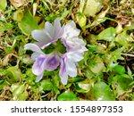 eichhornia  water hyacinth.... | Shutterstock . vector #1554897353