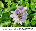 eichhornia  water hyacinth.... | Shutterstock . vector #1554897356