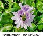 eichhornia  water hyacinth.... | Shutterstock . vector #1554897359