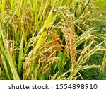 rice tree nature rice fields.... | Shutterstock . vector #1554898910