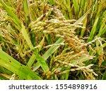 rice tree nature rice fields.... | Shutterstock . vector #1554898916
