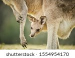 Wild Kangaroo Joey In Open...