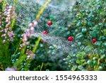 Red Berries In Wet Spider Web...