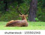 Male Hog Deer On Spring...