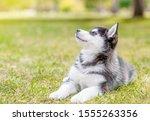 Siberian Husky Puppy Lies On...