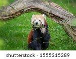 Red Panda Enjoying A Snack