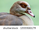 An Egyptian Goose Portrait Sid...