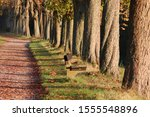 Allee Of Chestnut Trees With A...