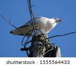 Stock photo adult european herring gull larus argentatus sitting on an electric pole 1555564433