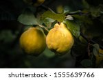 Ripe Yellow Quince Fruits With...