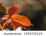 Golden Russet Bramble Leaves In ...