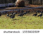 Family Of Canadian Geese Hang...