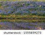 Bluebonnet Filled Meadow...
