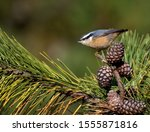Red Breasted Nuthatch On Pine...