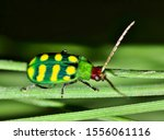 Banded Cucumber Beetle ...