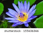 Blue Lotus On The Pond