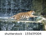 Tiger Playing Water