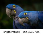 Hyacinth Macaw Portrait In...