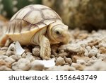 Stock photo close up african spurred tortoise resting in the garden slow life africa spurred tortoise 1556643749