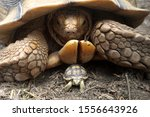 Stock photo close up african spurred tortoise resting in the garden slow life africa spurred tortoise 1556643926