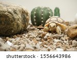 Stock photo close up african spurred tortoise resting in the garden slow life africa spurred tortoise 1556643986