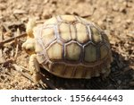 Stock photo close up african spurred tortoise resting in the garden slow life africa spurred tortoise 1556644643