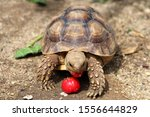 Stock photo close up african spurred tortoise resting in the garden slow life africa spurred tortoise 1556644829
