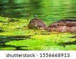 Wild Duck Swims In The Duckweed ...