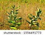 Milkweed Plants Mixed With...
