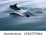 Pod Of Common Dolphins...