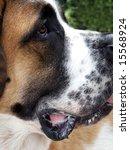 pure bred saint bernard in... | Shutterstock . vector #15568924