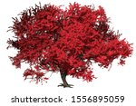 momiji japanese maple tree with ... | Shutterstock . vector #1556895059
