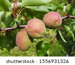 Unripe Apricots That Are Just...
