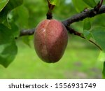 Unripe Apricots On A Tree With...