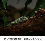 Lazy Iguana Sleeping On A Log...