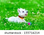 Stock photo attentive west highland white terrier with ball dog toy on green grass and clover background 155716214