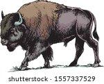 American Bison  Buffalo. Hand...