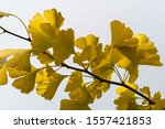 Golden And Yellow Leaves Of...