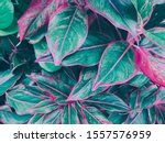close up plants or cordyline... | Shutterstock . vector #1557576959