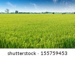 Rice Plant Growing And Produce...