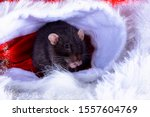 A Dark Gray Rat On A White...