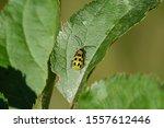 Spotted Cucumber Beetle On Leaf ...