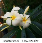 Beautiful Magnolia Champaca...