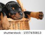 Puppies Dobermann In A Wicker...