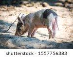 Portrait Of Little Cute Pig  He ...
