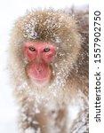 Japanese Snow Monkey   Portrait