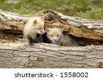 A pair of Red Fox pups (Vulpes vulpes) Focus=pup on the right. Taken at a game farm. 12MP camera. - stock photo