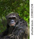 Chimpanzee Looking At The Camera