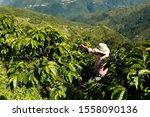 Coffee farmer in the fields of...